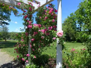 """Rose Garden Florence Griswold Museum"" by Maureen Solomon"